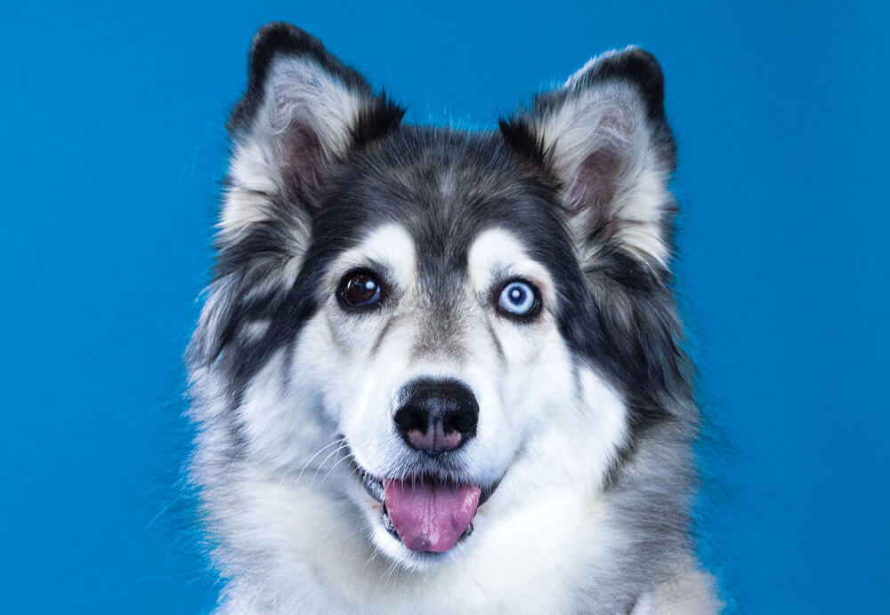 Cheyenne, Toronto Pearson therapy dog