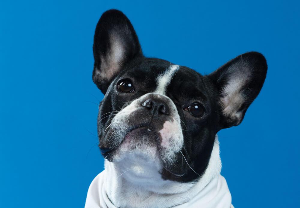 Daisey, Toronto Pearson therapy dog