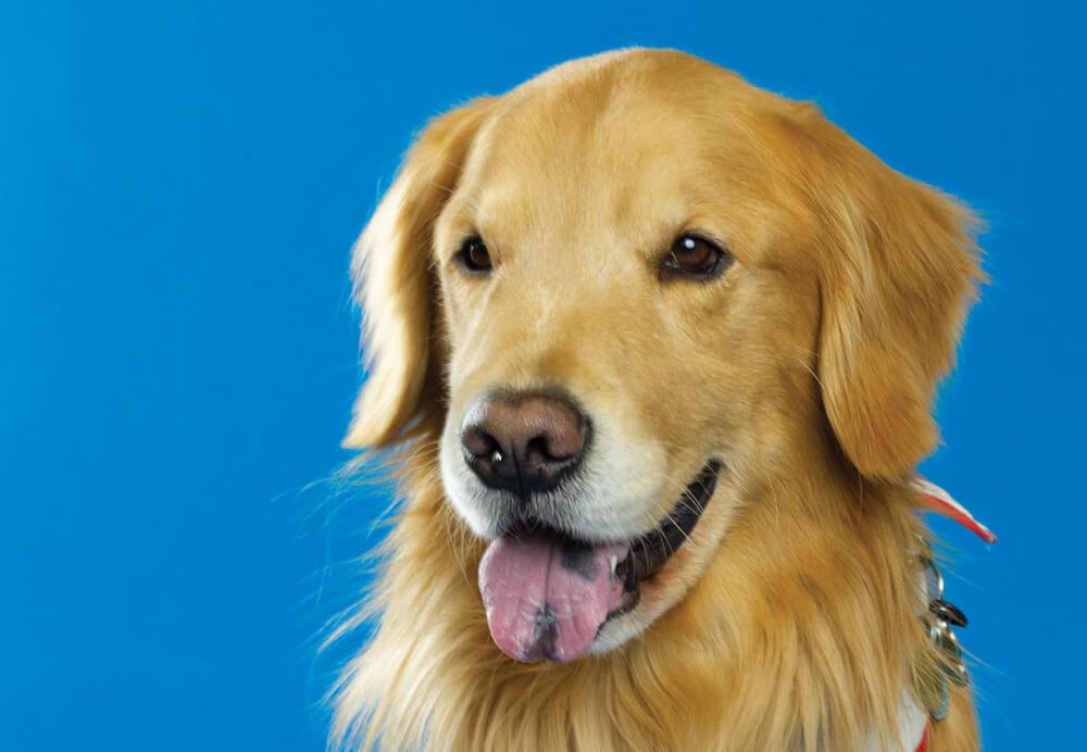 Hunter, Toronto Pearson therapy dog