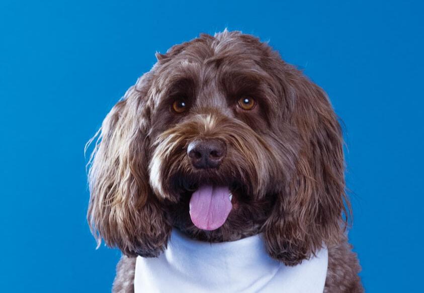 Kahula, Toronto Pearson therapy dog
