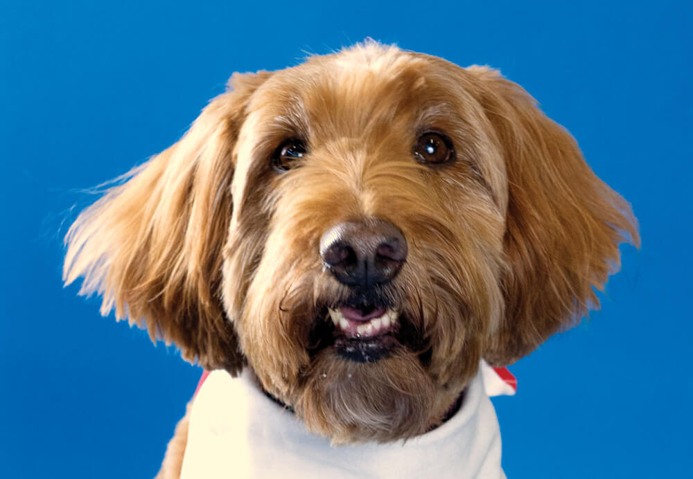 Luna, Toronto Pearson therapy dog