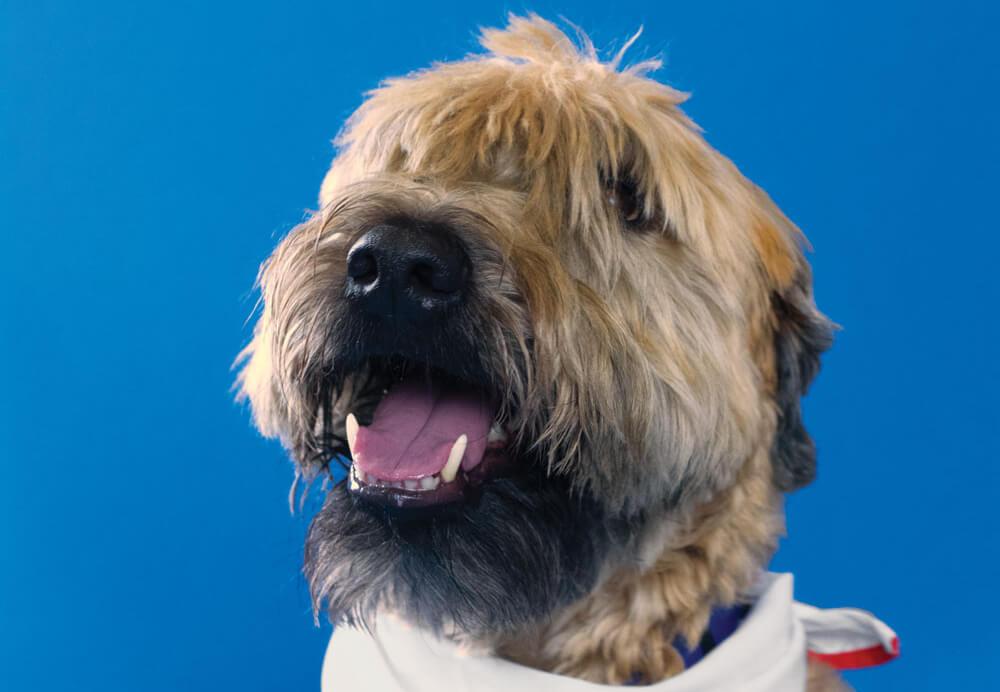 Ringo Starr, Toronto Pearson therapy dog