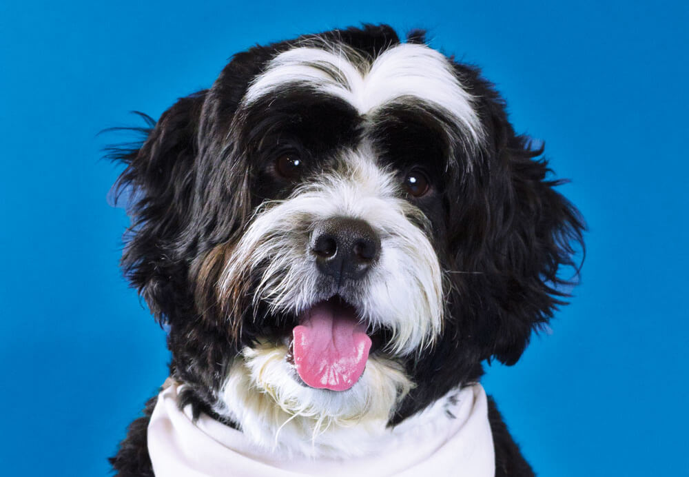 Shep, Toronto Pearson therapy dog